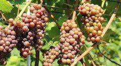 rsz_1rsz_winegrapes